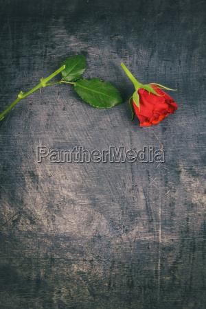 broken red rose on wooden background