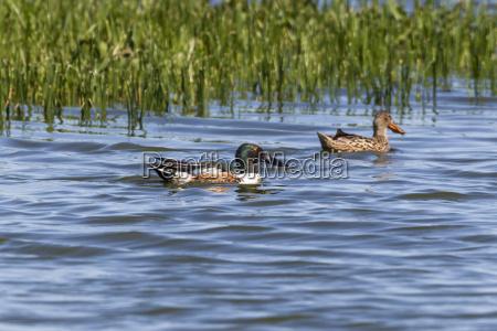 germany schleswig holstein shoveler birds swimming