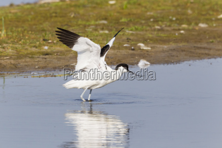 germany schleswig holstein avocet bird speading