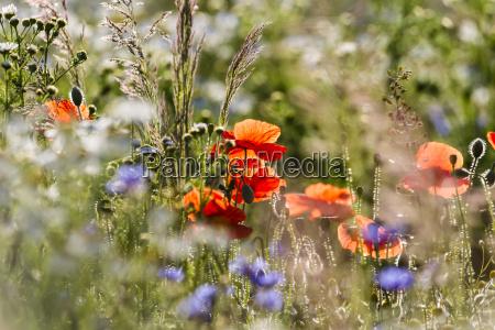 germany hesse corn poppy flowers