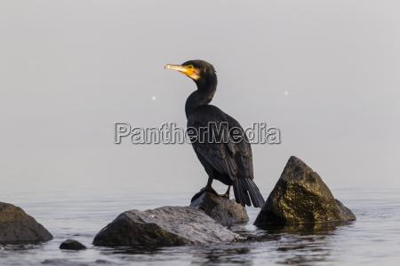 germany timmendorfer strand cormorant at baltic