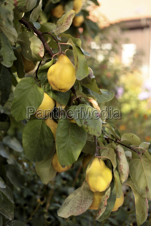 germany bavaria quince fruit tree close