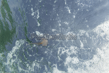 spain mallorca mediterranean mauve stinger
