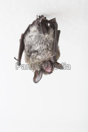 particoloured bat vespertilio murinus