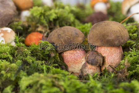 dotted stem boletes boletus erythropus at