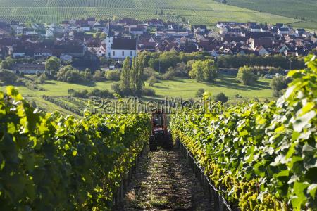 germany lower franconia grape harvest near
