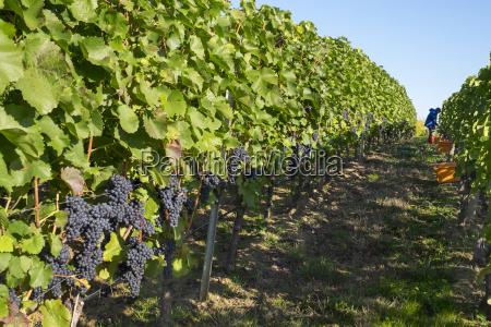 germany lower franconia grape harvest in