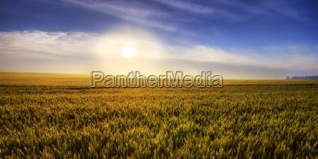 united kingdom scotland east lothian wheat