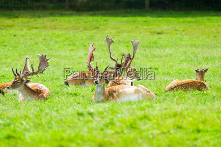 stags sitting in the grass