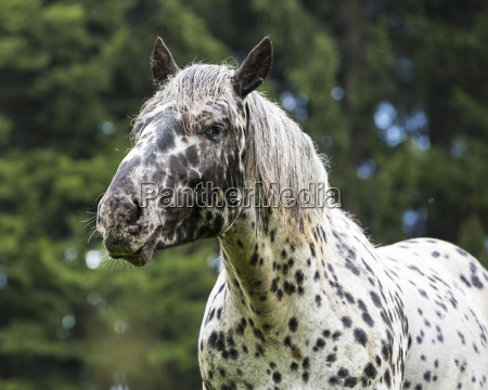 germany horse equus portait of a