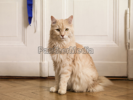 portrait of maine coon sitting on