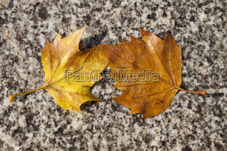 two wet autumn leaves