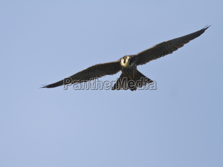 eurasian hobby falco subbuteo flying