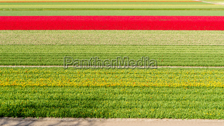 dutch tulip field in springtime