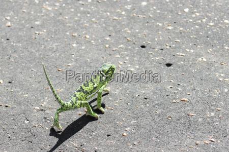 flap neck chameleon chamaeleo dilepis