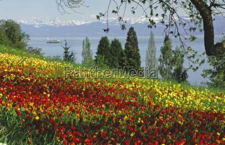 south germany lake constance by tulips