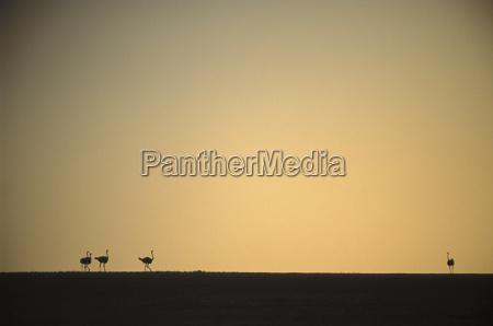 ostriches etosha national park namibia