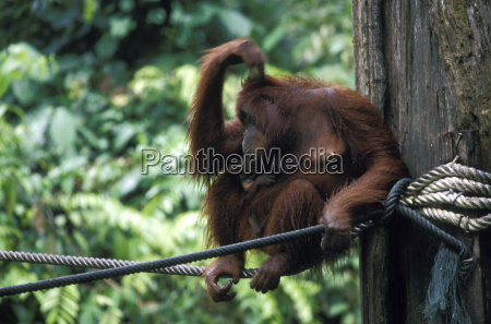 orang utan mother with a young