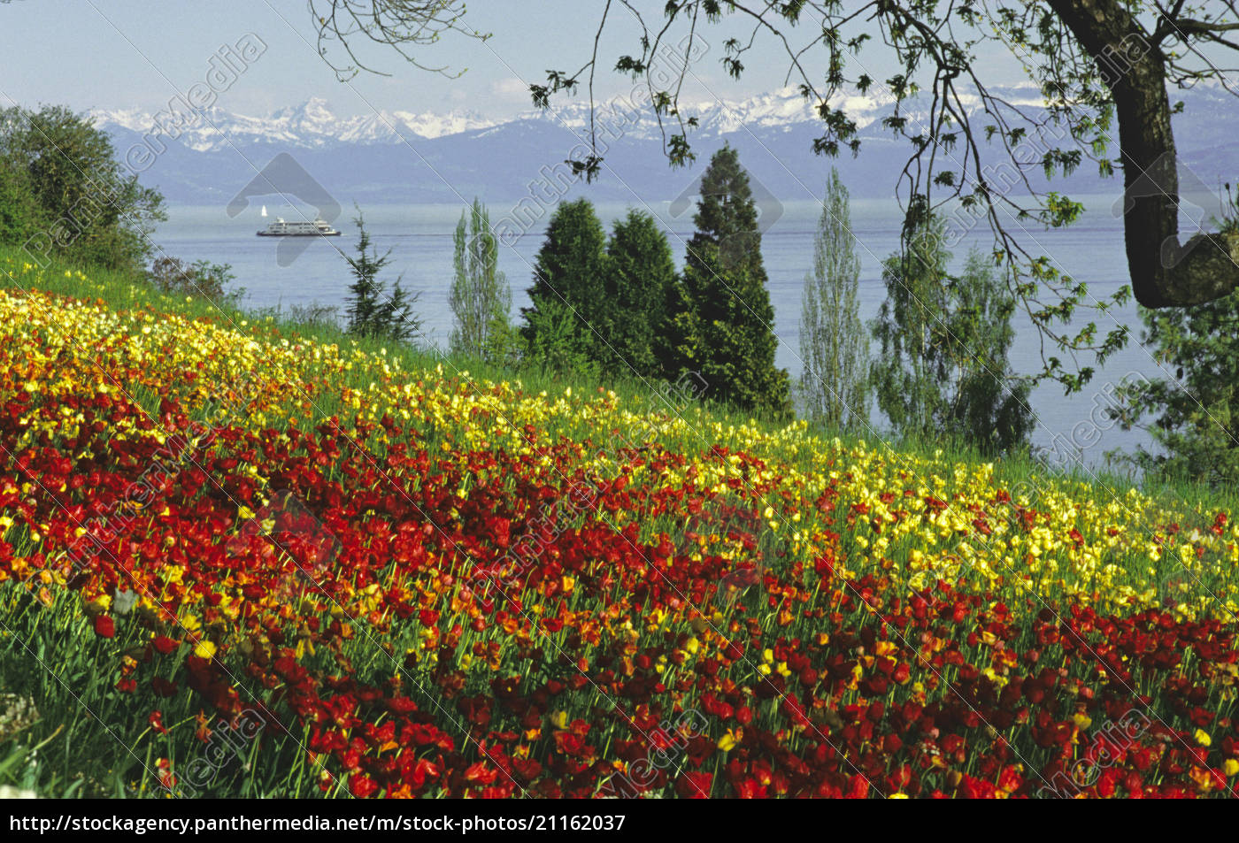 south, germany, , lake, constance, by, tulips - 21162037