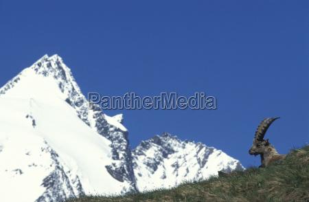 alpine ibex in the background grossglockner