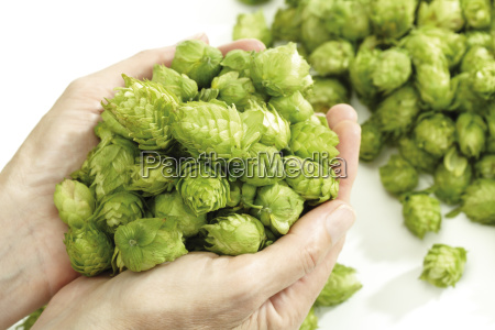 hands holding ripe hop umbels close