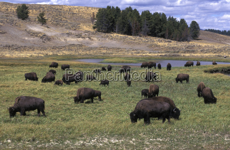 plains buffalo bison bison in yellowstone