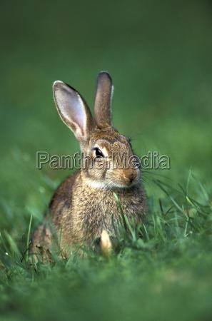rabbit leporidae