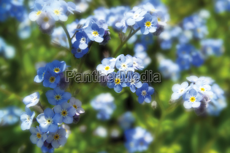 forget me not flowers blooming