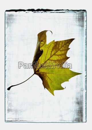 collage of maple leaf with texture