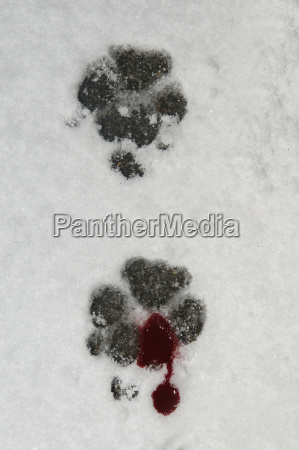 germany bloody dog foot prints in
