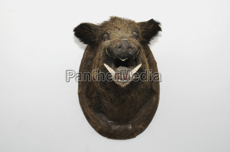mounted wild boar head studio shot