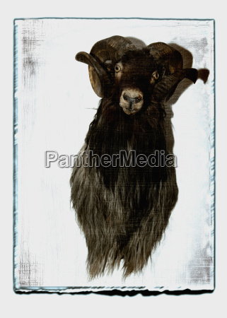 taxidermy of ram against white background