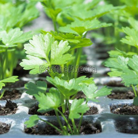 seedlings of celeriac