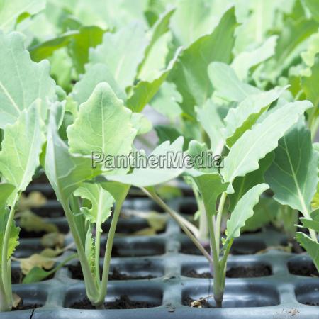 seedlings of kohlrabies