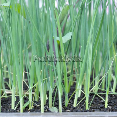seedlings of leek