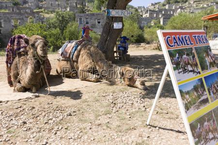turkey kayakoey camel resting under tree