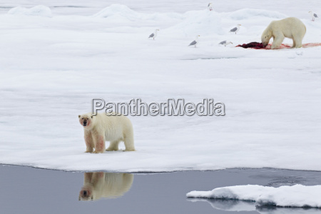 europe norway svalbard polar bear with