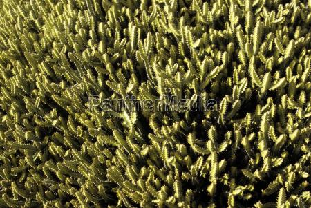 spain lanzarote cactus plant close up