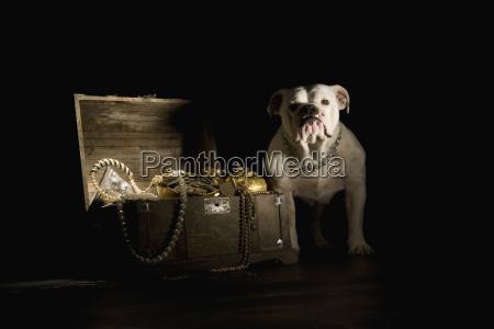 bulldog standing next treasure chest portrait