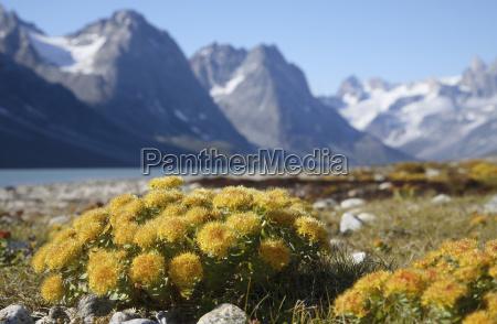 aguas pedra flor planta groenlandia europa