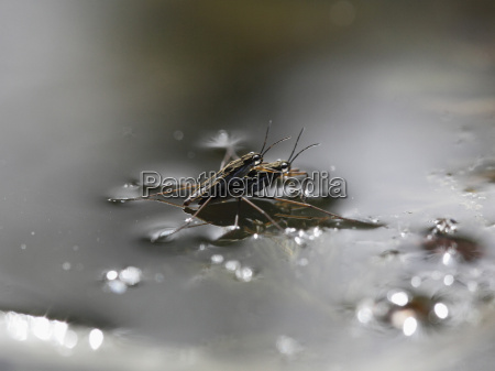 germany view of common pond skater