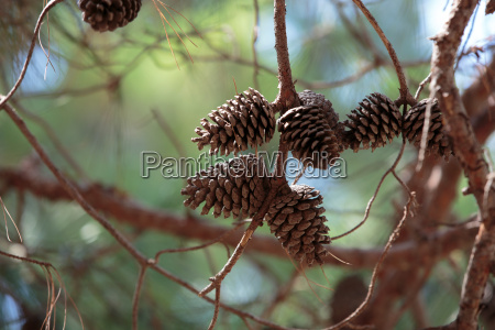 close up of pine cone on