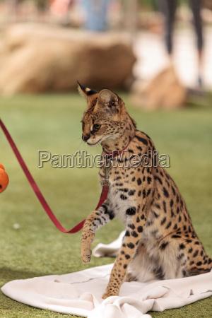 playful serval cat leptailurus serval