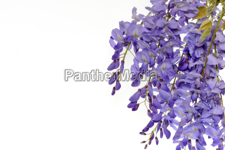 wisteria flowers floral design element