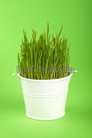 spring grass growing in small bucket