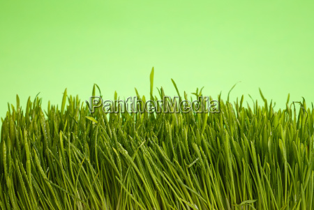 fresh spring grass close with dewdrops