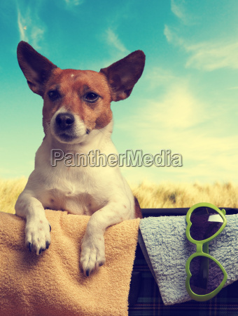 travel concept with a jack russell
