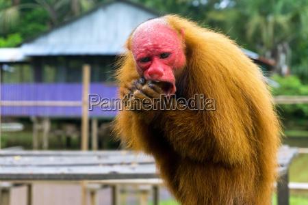 bald uakari monkey
