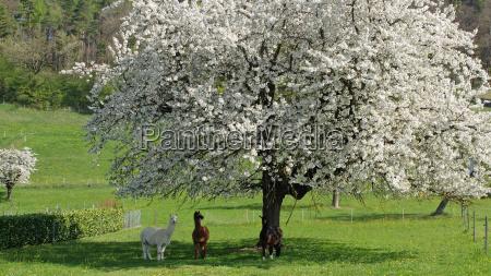 alpacas under flowering apple tree