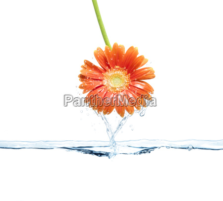 daisy flower and water